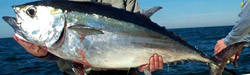 blackfin-tuna-florida-charters