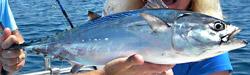 tuna-florida-charters