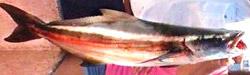 cobia-florida-charters