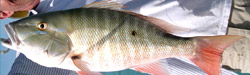 Catch mutton-snapper-florida-charters