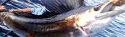sailfish-florida-charters