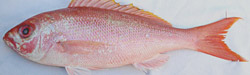 vermillion-snapper-florida-charters