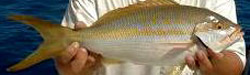 yellowtail-snapper-florida-charters